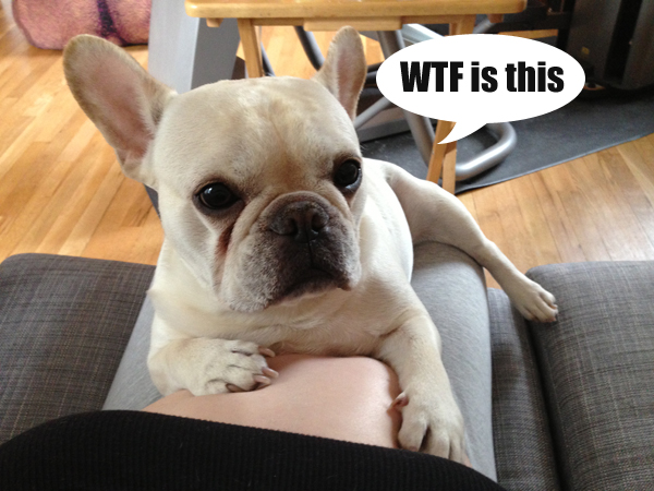 3 bambino-the-knotty-frenchie-reaction-to-me-being-pregnant